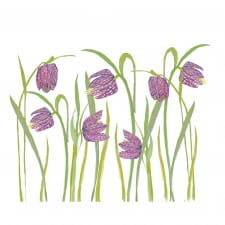 Snakeshead fritillaries colour clip art download